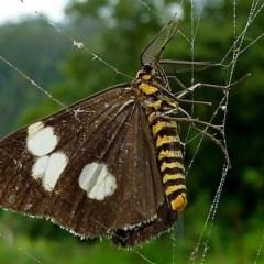 Nyctemera amicus (Magpie Moth, Senecio Moth) at Brogo, NSW - 3 Feb 2011 by MaxCampbell