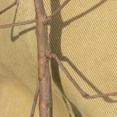 Ctenomorpha marginipennis at Brogo, NSW - 25 Mar 2007