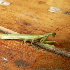 Tenodera australasiae (Purple-winged mantid) at Brogo, NSW - 4 Apr 2005 by MaxCampbell