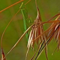 Orthodera ministralis (Green mantid) at Brogo, NSW - 5 Jan 2006 by MaxCampbell