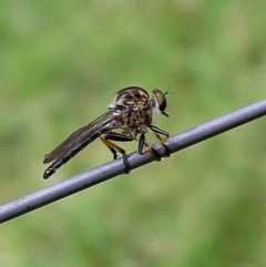ASILIDAE (family) (Robber fly) at Brogo, NSW - 10 Feb 2002 by MaxCampbell