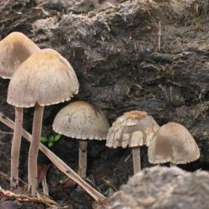 Panaeolus sp. at Brogo, NSW - 6 Nov 2006