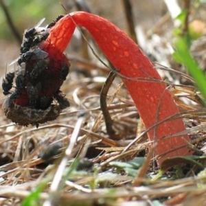 Phallus rubicundus at Brogo, NSW - 17 Dec 2005