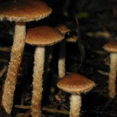 Pholiota squarrosipes at Brogo, NSW - 2 Jul 2006 by JackieMiles
