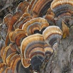 Trametes versicolor at Brogo, NSW - 3 Sep 2006