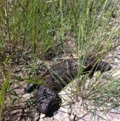Tiliqua rugosa (Shingleback) at Goorooyarroo - 11 Nov 2012 by ibaird