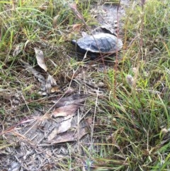 Chelodina longicollis (Eastern Long-neck Turtle) at Goorooyarroo - 15 Dec 2012 by ibaird