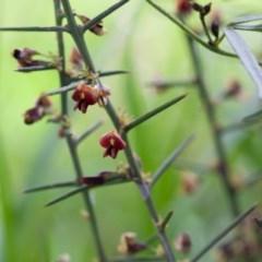 Daviesia genistifolia (Broom Bitter Pea) at Murrumbateman, NSW - 8 Oct 2016 by SallyandPeter