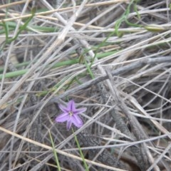 Thysanotus patersonii (Twining fringe lily) at Acton, ACT - 9 Oct 2016 by MichaelMulvaney