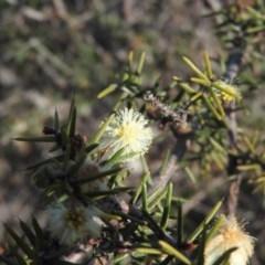 Acacia genistifolia (Early Wattle) at Wanniassa Hill - 3 Sep 2016 by RyuCallaway