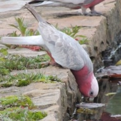 Eolophus roseicapillus (Galah) at Commonwealth & Kings Parks - 17 Sep 2016 by michaelb