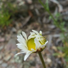 Brachyscome dentata (Lobe-seed Daisy) at Bywong, NSW - 9 Jan 2016 by RichardMilner