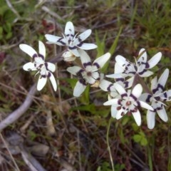 Wurmbea dioica subsp. dioica (Early Nancy) at Jerrabomberra, ACT - 8 Oct 2016 by Mike
