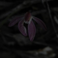 Caladenia fuscata (Dusky fingers) at Point 5832 - 9 Oct 2016 by Ryl
