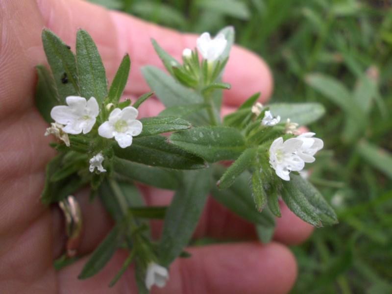 Buglossoides arvensis at Mount Ainslie - 10 Oct 2016