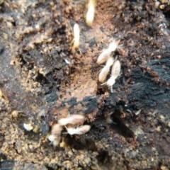 Coptotermes sp. (genus) (Termite) at Black Mountain - 9 Oct 2016 by Ryl