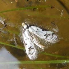 Philobota lysizona (A concealer moth) at Black Mountain - 9 Oct 2016 by Ryl