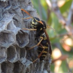 Polistes (Polistes) chinensis (Asian paper wasp) at Conder, ACT - 4 Mar 2015 by michaelb