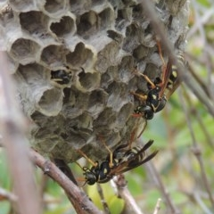 Polistes (Polistes) chinensis (Asian paper wasp) at Conder, ACT - 3 Mar 2015 by michaelb