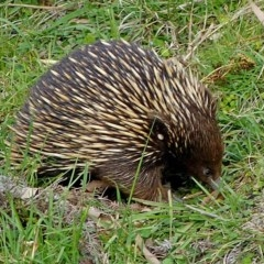 Tachyglossus aculeatus (Short-beaked Echidna) at Brogo, NSW - 13 Oct 2016 by MaxCampbell