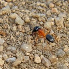 Camponotus consobrinus (Banded sugar ant) at Brogo, NSW - 9 Oct 2016 by MaxCampbell