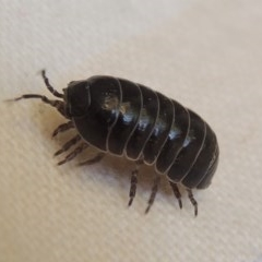 Armadillidium vulgare (Slater bug, woodlouse, pill bug, roley poley) at Conder, ACT - 22 Nov 2014 by michaelb