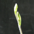 Caladenia moschata at Black Mountain - 14 Oct 2016