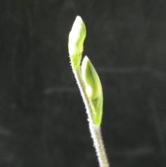 Caladenia moschata (Musky caps) at Black Mountain - 14 Oct 2016 by petaurus