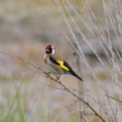 Carduelis carduelis (European Goldfinch) at Jerrabomberra Wetlands - 10 Oct 2016 by roymcd