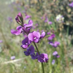 Swainsona monticola (Notched swainson-pea) at Lower Molonglo - 14 Jan 2016 by RichardMilner