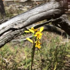 Diuris nigromontana (Black mountain leopard orchid) at Bruce Ridge - 15 Oct 2016 by Jenjen