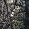 Caladenia moschata at Bruce Ridge - 15 Oct 2016