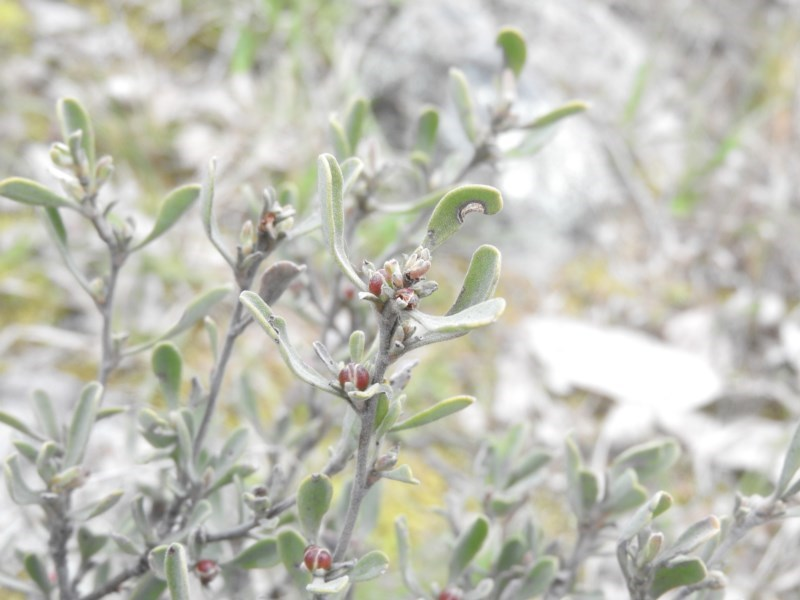 Hibbertia obtusifolia at Wanniassa Hill - 18 Sep 2016