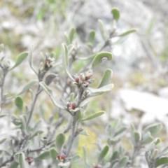 Hibbertia obtusifolia (Grey Guinea-flower) at Wanniassa Hill - 17 Sep 2016 by RyuCallaway