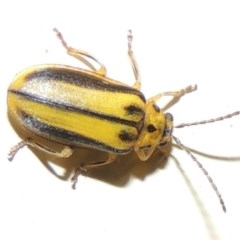 Xanthogaleruca luteola (Elm leaf beetle) at Conder, ACT - 23 Mar 2015 by michaelb