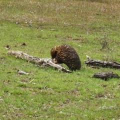 Tachyglossus aculeatus (Short-beaked Echidna) at Mulligans Flat - 5 Oct 2016 by Holly7