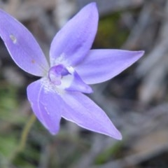 Glossodia major (Wax lip orchid) at Black Mountain - 13 Oct 2016 by Ryl