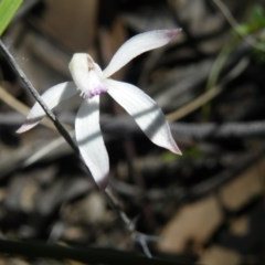 Caladenia ustulata (Brown caps) at Black Mountain - 13 Oct 2016 by Ryl