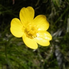 Ranunculus lappaceus (Australian Buttercup) at Black Mountain - 13 Oct 2016 by Ryl