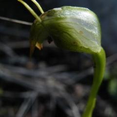 Pterostylis nutans (Nodding greenhood) at Black Mountain - 13 Oct 2016 by Ryl