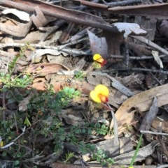 Bossiaea sp. at Black Mountain - 16 Oct 2016 by ibaird