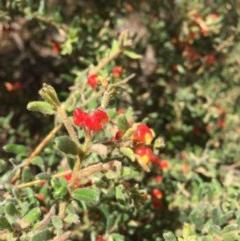 Grevillea alpina (Mountain Grevillea / Cat's Claws Grevillea) at Black Mountain - 16 Oct 2016 by ibaird
