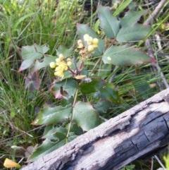 Berberis aquifolium (Oregon grape) at Bruce Ridge - 10 Oct 2016 by Ryl