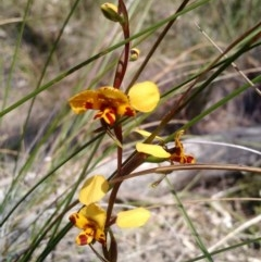 Diuris nigromontana (Black mountain leopard orchid) at - 16 Oct 2016 by EmmaCook