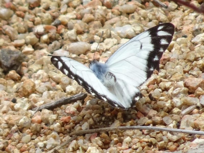 Belenois java at Sth Tablelands Ecosystem Park - 20 Oct 2016