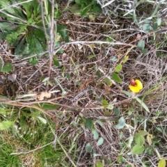 Bossiaea prostrata at Crace Grasslands - 21 Oct 2016