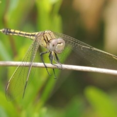 Orthetrum caledonicum (Blue Skimmer) at Conder, ACT - 3 Mar 2015 by michaelb