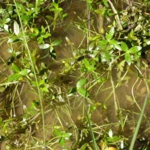 Ranunculus papulentus at Sth Tablelands Ecosystem Park - 20 Oct 2016