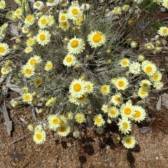 Leucochrysum albicans at Sth Tablelands Ecosystem Park - 20 Oct 2016 by galah681