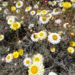 Leucochrysum albicans at Sth Tablelands Ecosystem Park - 20 Oct 2016